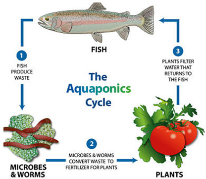 the aquaponic cycle